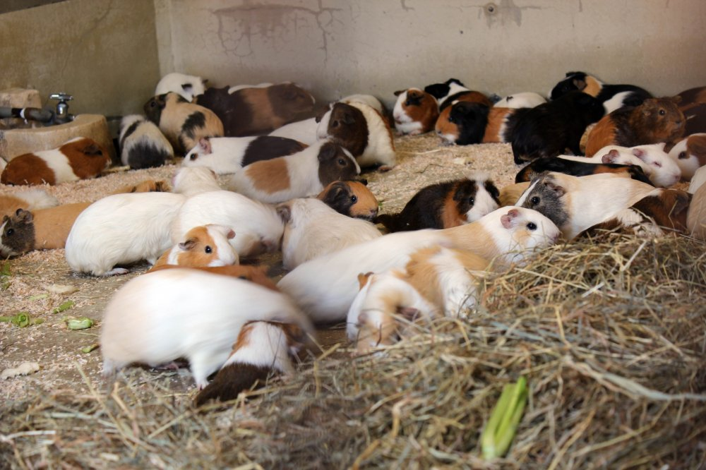 Guinea pigs are popular zoo animals in Japan.