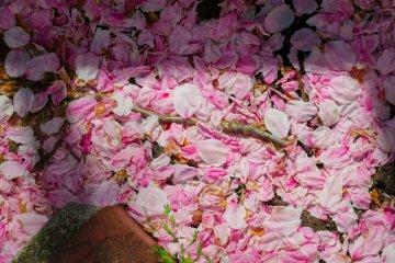 Опавшие лепестки в парке Ногэяма