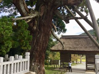 A 30m tall cedar  that is believed to be more than 2000 years old, commonly called Yaosugi.