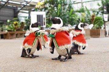 Daily penguin parade at Matsue Vogel Park