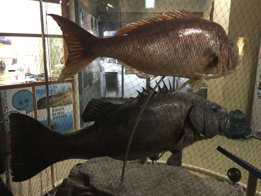 Some of the biggest fishes caught in the waters of the Oki Islands