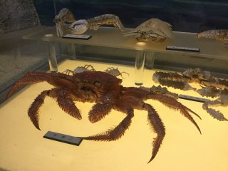 Hairy crab, one of the tastiest crabs.