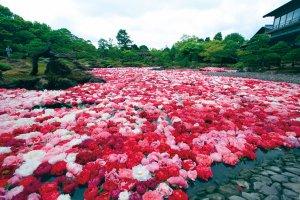 Des fleurs de pivoines sont mises à flotter par milliers sur l'étang du jardin Yuushien fin avril-début mai.