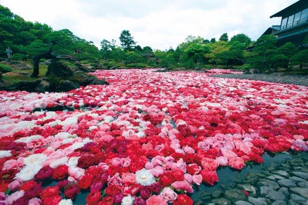 Des fleurs de pivoines sont mises à flotter par milliers sur l\'étang du jardin Yuushien fin avril-début mai.