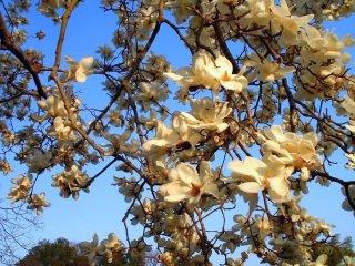 Japanese plum tree in bloom