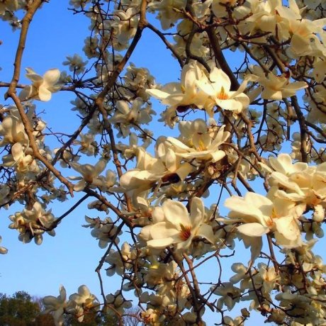 Japanese Plum Blossom & Plum Liquor