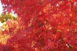 Des feuille d'érable en novembre