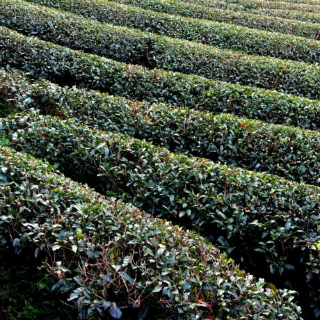Le Thé Vert de Shizuoka