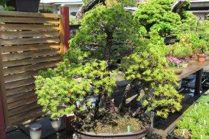 Дерево бонсай в Bonsai Village
