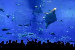 Elegant Rays glide through the tank effortlessly