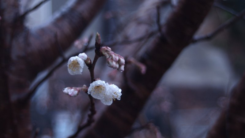 Immaculate first blossoms drenched with cold morning showers.