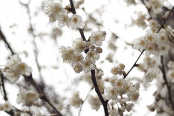 In tears, these blossoms look prettier.