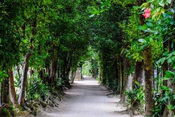 Beautiful fukugi trees line the pathways of Bise Village