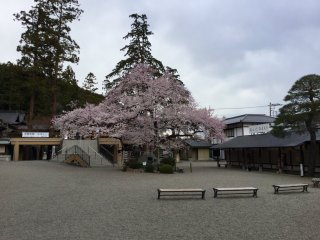 Sakura is best appreciated in stillness and away from crowds.