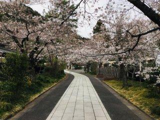 Sakura lined walkway towards the shrine.