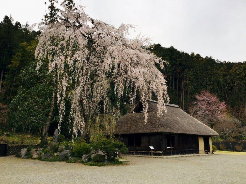 The 400 year old sakura tree.