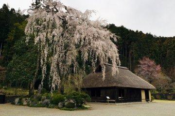 ต้นซากุระอายุ 400 ปี