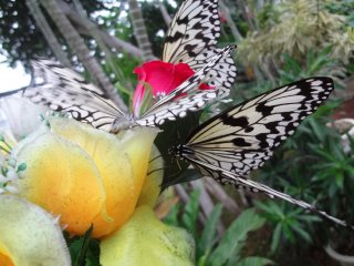 A chance to get as close to butterflies as you possibly can