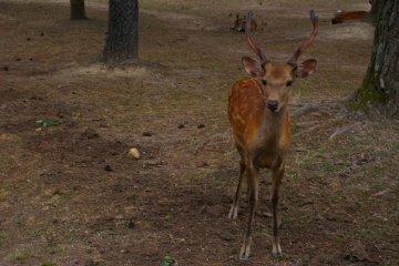 Shika deer in Nara