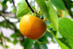 Осенью созревает хурма и другие фрукты