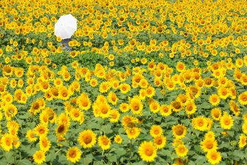 Akeno Sunflower Festival