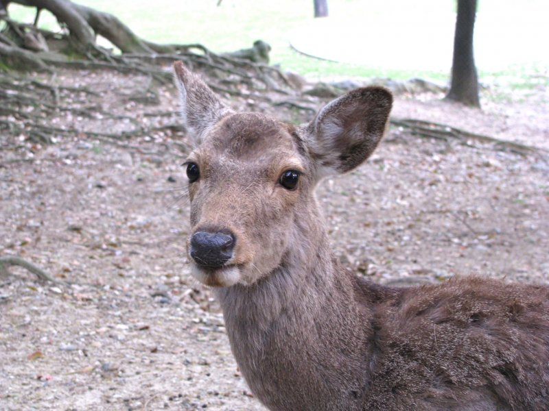 A new acquaintance in Nara Park