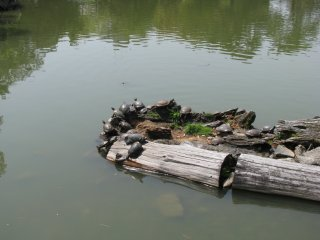 Turtles in Ara Pond