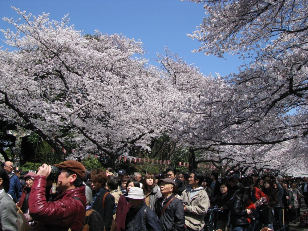 Ueno Park's blooming cherry blossoms in April