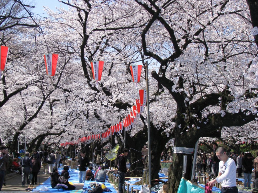 Hanami parties beneath the trees in Ueno Park