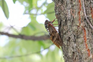 The sound of the cicada is one Japan's most famous