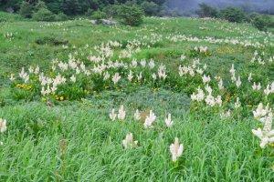 Fields of Kobaikeiso (White Hellebore)
