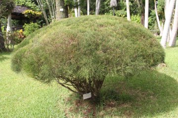 <p>Australian pines are small bushes originating from the outback</p>