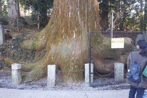 The octopus cedar