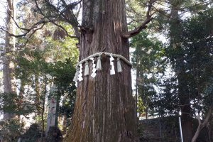 Sacred tree with shimenawa rope and shide streamers
