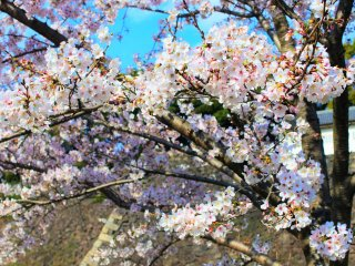 Cherry blossoms blooming at the Imperial Palace