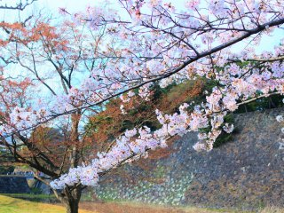 Imperial Palace cherry blossoms