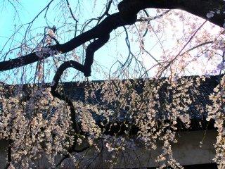 A cherry blossom species known as 'shidarezakura'