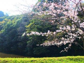 Pretty cherry blossoms on Inui-mon Street