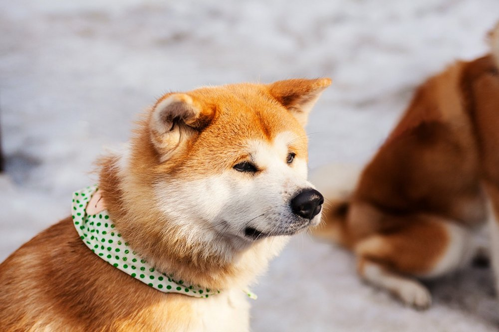 Known as 'Akita Inu' in Japan, this large dog breed originated in the mountainous regions of North Japan.