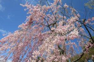 The happy sight of blooming sakura