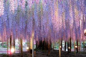 Magic fuji, or wisteria