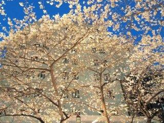 The beautiful illuminated cherry blossoms