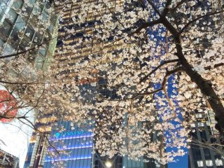 The cherry blossoms at night