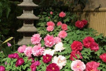 Peonies in Yushi garden