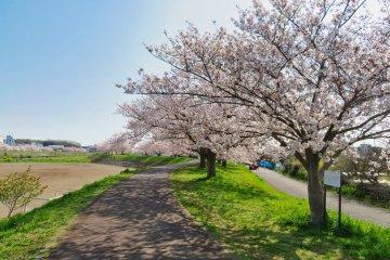 Tsurumi River Sakura