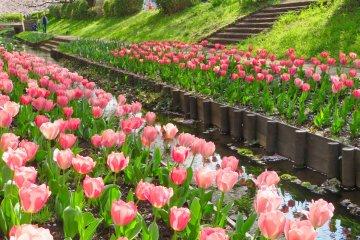 Egawa Tulips were planted by school children
