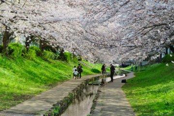 Egawa Sakura canopy
