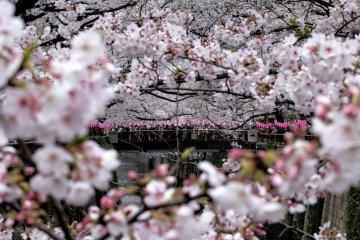 目黑川的樱花