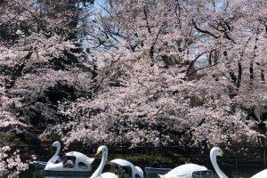 이노카시라 공원의 벚꽃