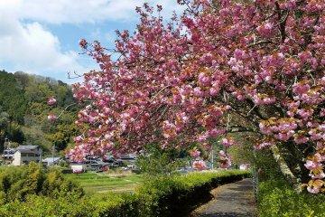 Late blooming Yaezakura cherry blossoms